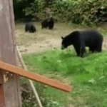 Canadian Asks Bears to Leave